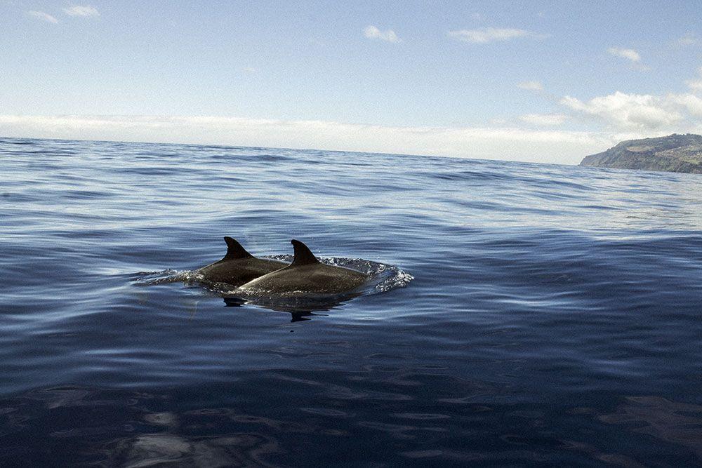 Delfines a la altura de Calheta